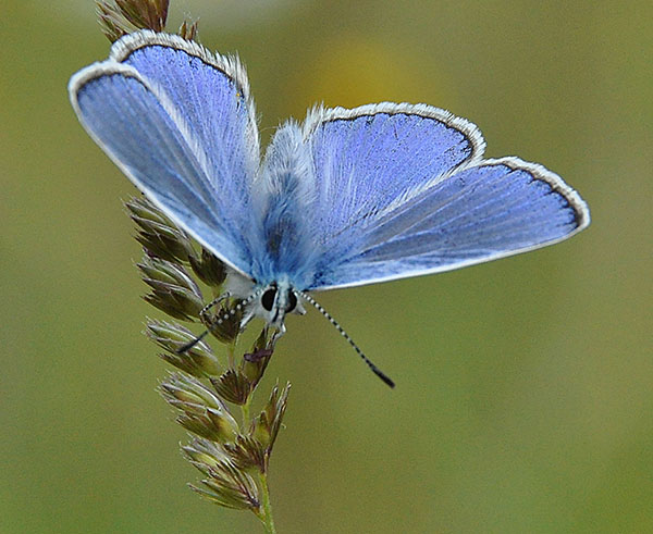 Common Blue_Tim Melling, Butterfly Conservation